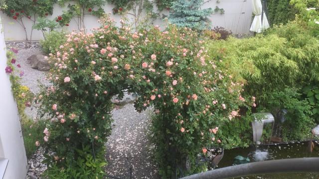 Rosenbogen zum Bonsaigarten