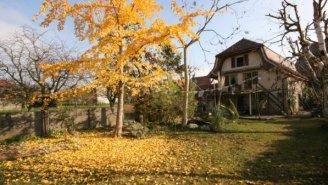 Herbstlicher Ginkobaum + Haus